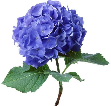 Гортензия. Superflowers.com.ua. Гортензия синяя фото